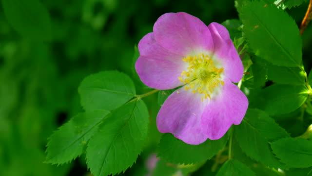 Rose bush i vinden.