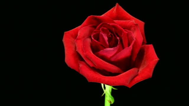 Rose sterben 4 K