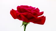 Rose flower blooming in a time lapse video on a white background. Time lapse of Red rose in motion.