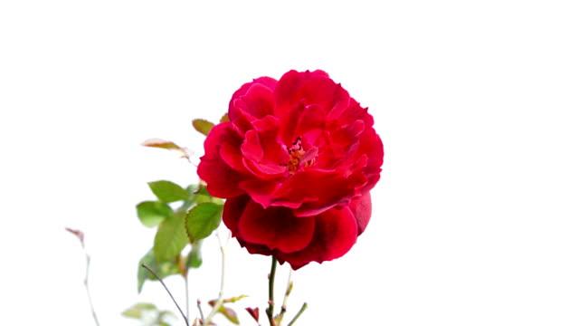 Rose flower isolated on white background