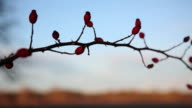 Rose hip an early winter morning