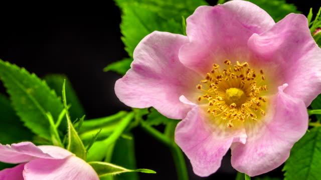 Rose hip flower blooming
