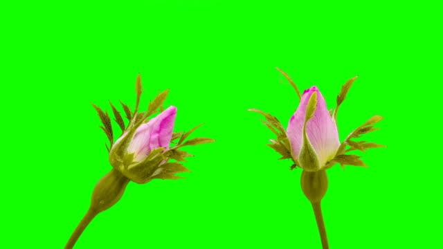 Rose hip flower