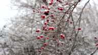 Rose hip in winter, close-up, frost
