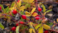 Rose hips, autumn in Yellowstone National Park