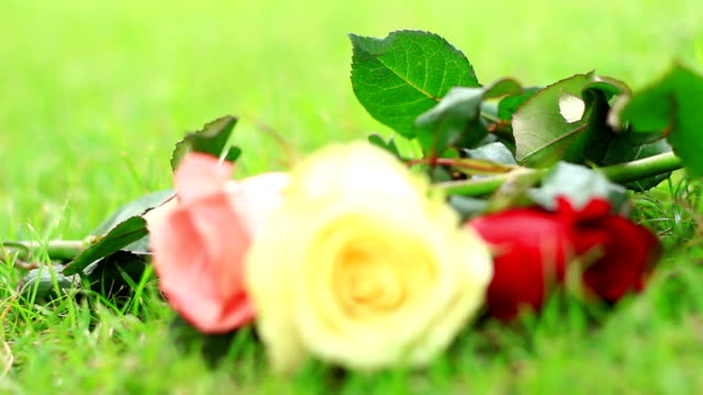 Rose on the grass.