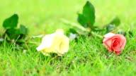 Rose auf dem Rasen.