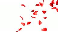 Rosenblätter fallen Hd