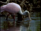 A roseate spoonbill scavenges for food near mangroves in the Everglades.