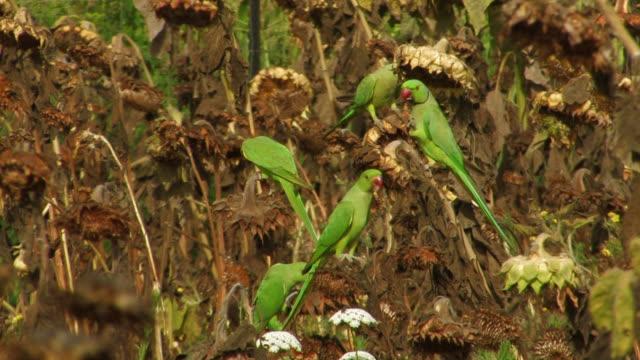 Rose-ringed Parakeet (Psittacula krameri) eating fruit in tree, Israel