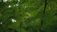 WS Rose-ringed Parakeet (Psittacula krameri) on tree branch / Amsterdam, Holland