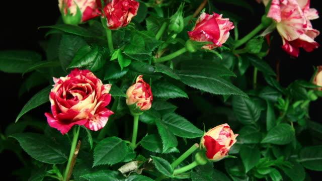Rosen blooming in arbust HD