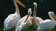 Rosy Pelican
