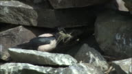 Rosy starling gathers nesting material and enters crevice in rocks, Qinghe County