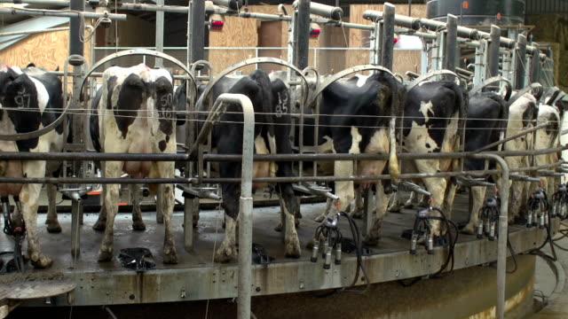 Rotating Cow Milking machine in dairy farm barn