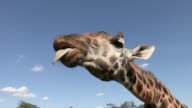 A Rothschild giraffe catches food with its long tongue.