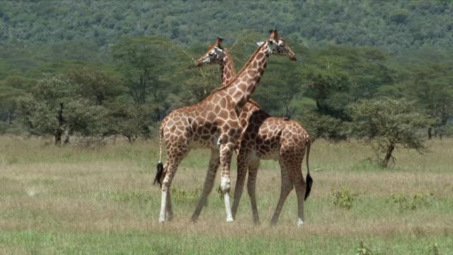 Rothschild's Giraffes, males, necking, fighting, Lake Nakuru, Kenya