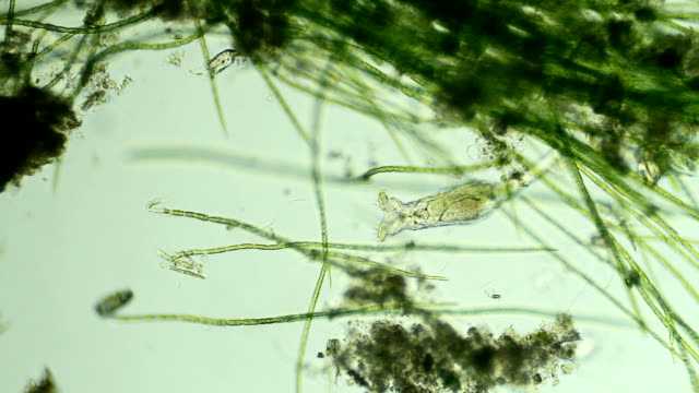 Rotifer hiding in plant cells