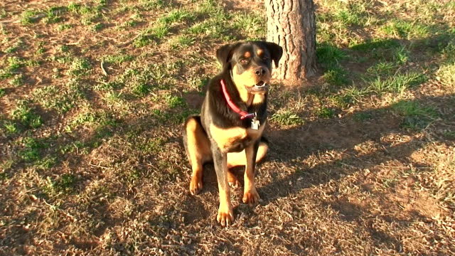 Rottweiler Sitting in Front of Tree