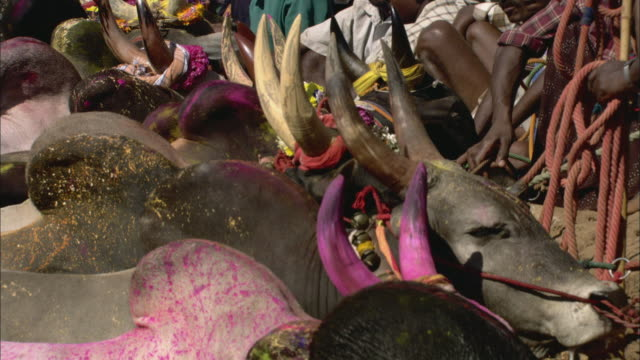 MS Row of cows with brightly painted horns/ India