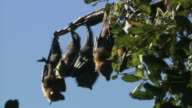 MS Row of flying foxes hanging upside down from branch / Sydney , Australia