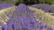 Row of lavender in field