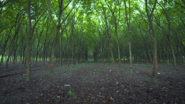 Row of rubber tree plantation,Stabilized Shot