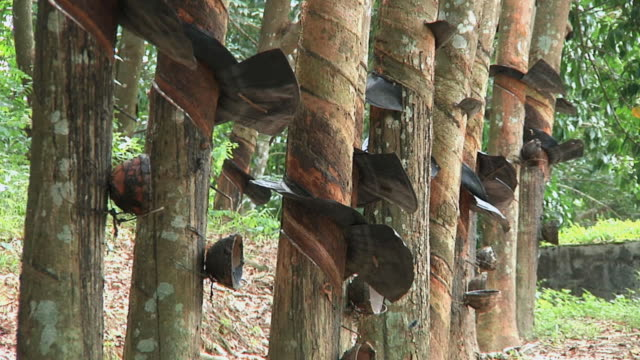 MS Row of rubber trees with collection buckets / Menghun, Yunnan, China