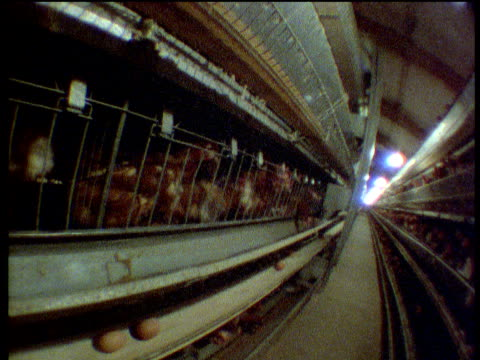 Rows of battery hens in cages being fed by automatic feeding machine UK
