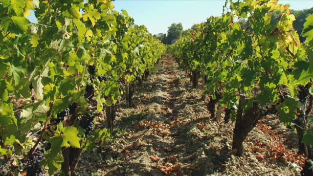 MS Rows of grapes growing in vineyard / Bordeaux, Gironde, France