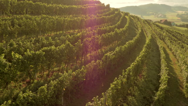 Landscaping A Sunny Hillside : Aerial rows of grapevine on sunny hillside stock footage getty