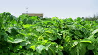 Rows of green potato tops in the field