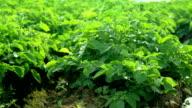 Rows of green potato tops