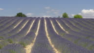 Rows of lavender in field