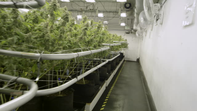 4K UHD: Rows of Marijuana in Grow Facility
