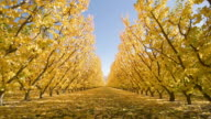 FM WS rows of trees in apple orchard in autumn/ Cromwell, New Zealand
