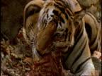 Royal Bengal Tiger (Panthera tigris tigris) chewing carcass, Bandhavgarh National Park, India