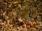 Royal Bengal tiger (Panthera tigris tigris) lying down, sleepy, Bandhavgarh National Park, India