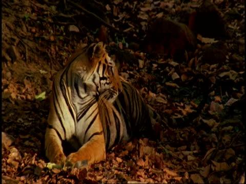Royal Bengal tiger (Panthera tigris tigris) lying on leaf litter, Bandhavgarh National Park, India
