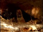 WA Royal Bengal tiger, Panthera tigris tigris, in shelter of cave, Bandhavgarh National Park, India