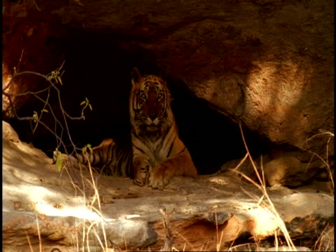 WA Royal Bengal tiger, Panthera tigris tigris, in shelter of cave, Bandhavgarh National Park, India