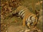 Royal Bengal tiger (Panthera tigris tigris) sleeping, Bandhavgarh National Park, India