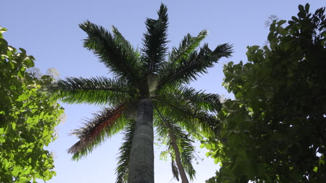 Royal Palm beauty, the palm is the Cuban National Tree
