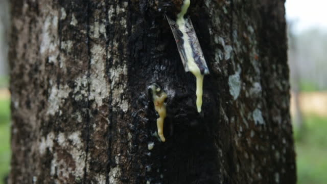 CU TD Rubber latex being collected on a Rubber plantation