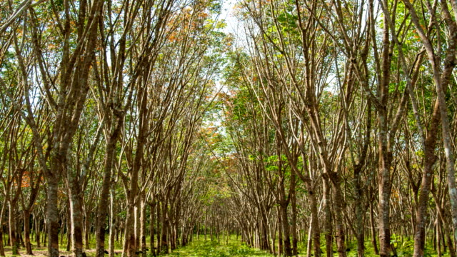 Rubber Plantation. Sunbeam shine through the rubber tree plantation.