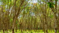 Rubber Plantation. Sunbeam shine through the rubber tree plantation.