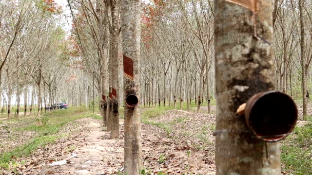 Rubber tree ,india tapping latex