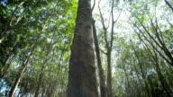 Rubber tree, Pan Camera Movement