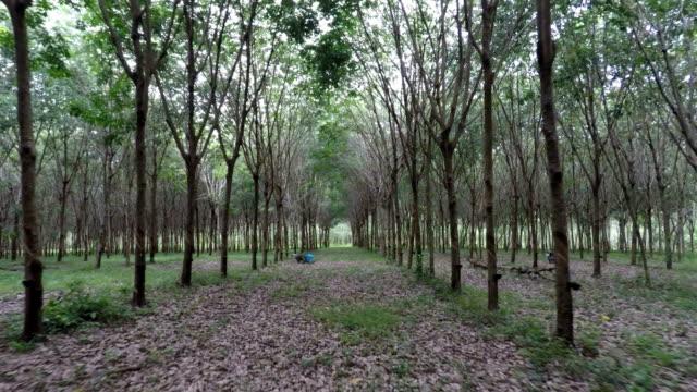 Rubber Tree Plantation, Phuket, Thailand