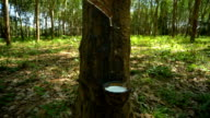 Rubber tree, Time Lapse